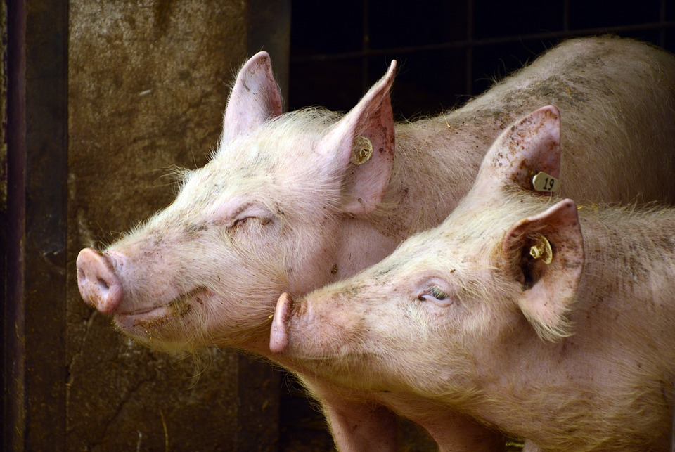 Elevage de porcs bio