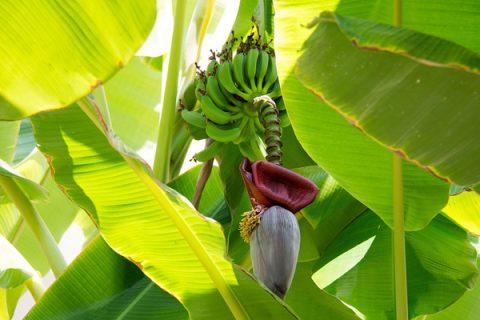 Bananier musa